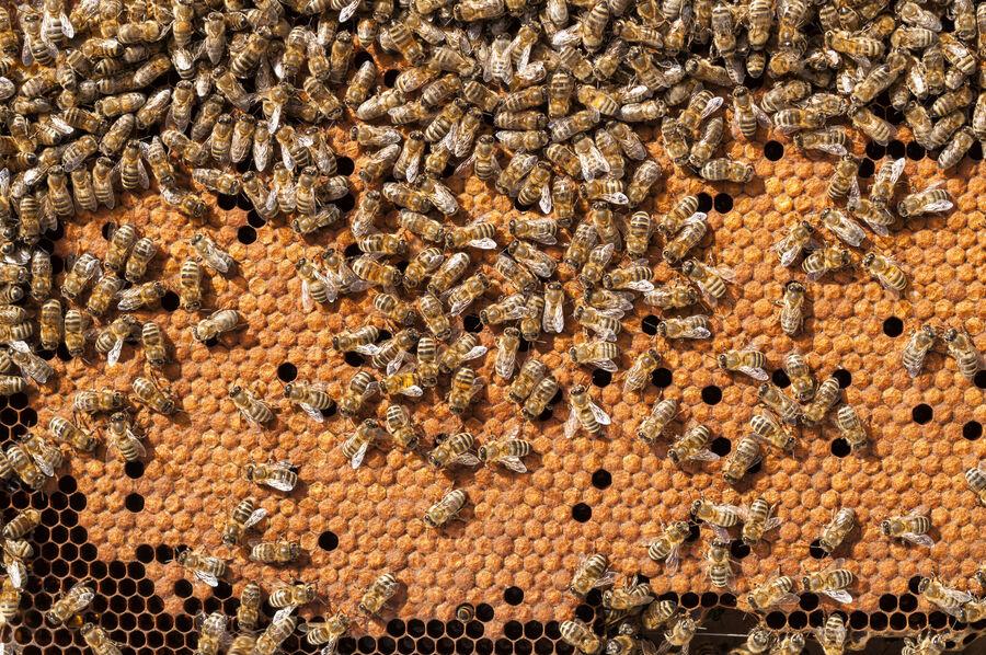 Billede af bier